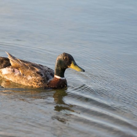 Devine Lake Park Leander Texas Ducks