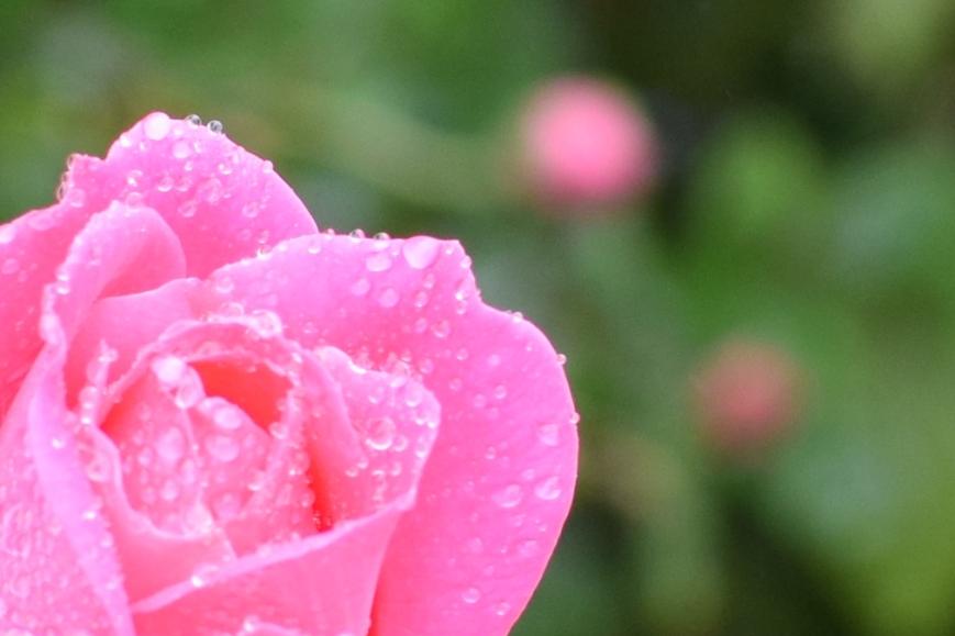 pink rose close-up flower