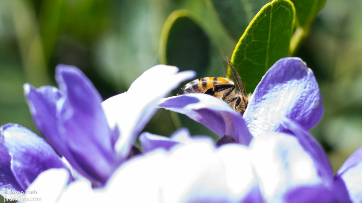 Texas mountain laurel bee close-up