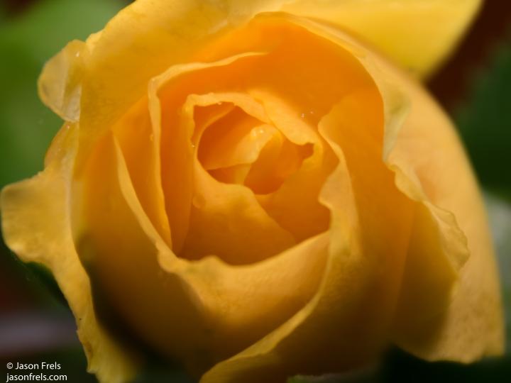 Texas Julia Child rose close-up extension tube