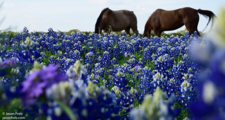 horses in bluebonnets Texas spring