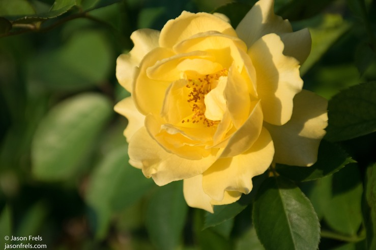 D5300_YellowRose