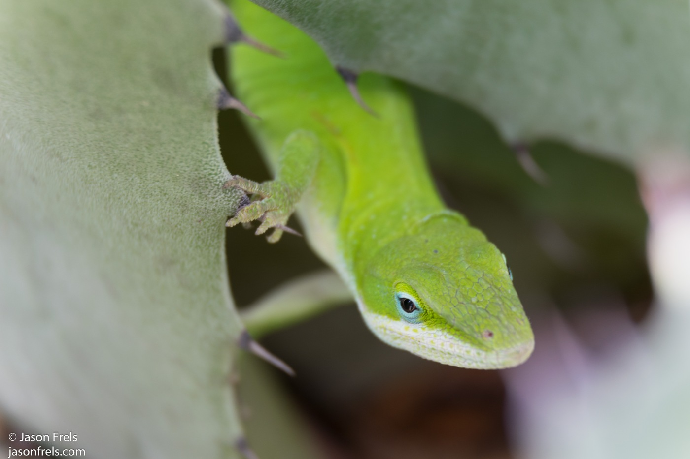 Close up of green lizard Texas backyard wildlife