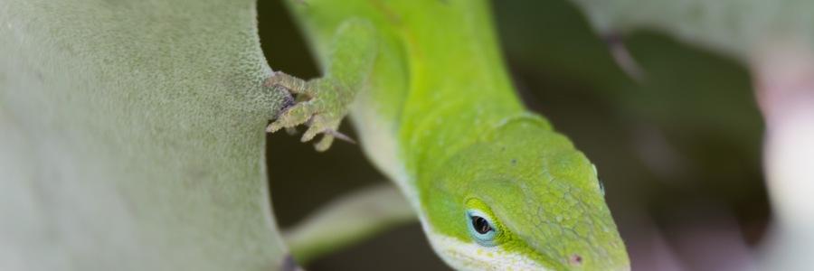 Close up of green lizard Texas backyard wildlife