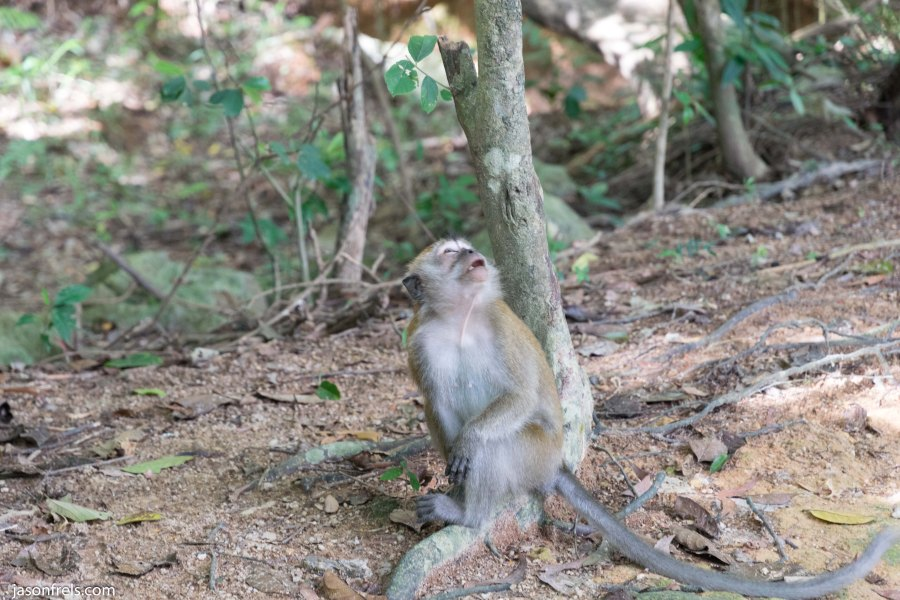 Macaque monkeys in Penang Malaysia
