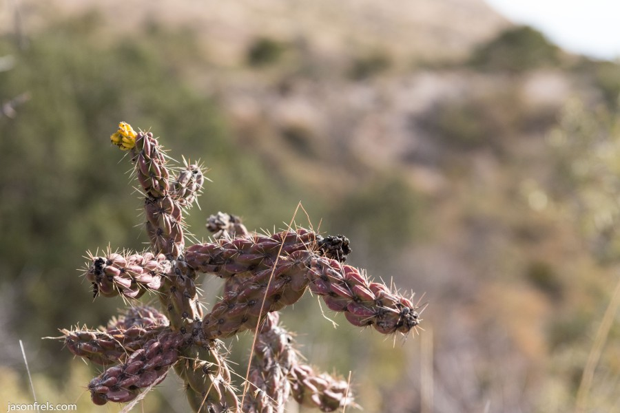 Guadalupe Mountains National Park cactus
