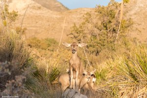 Guadalupe Mountains National Park deer
