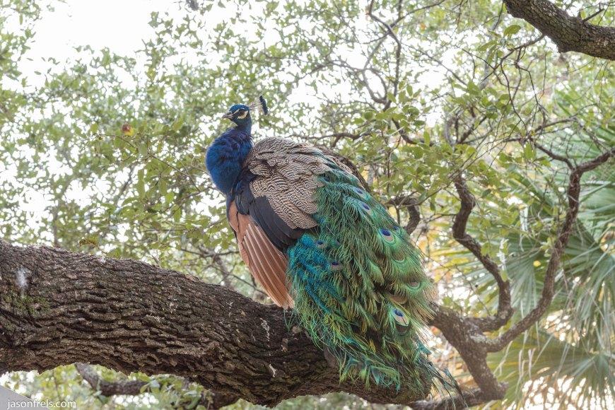 Peacock Mayfield Park Austin