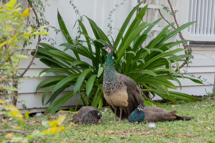 Peahen-with-babies