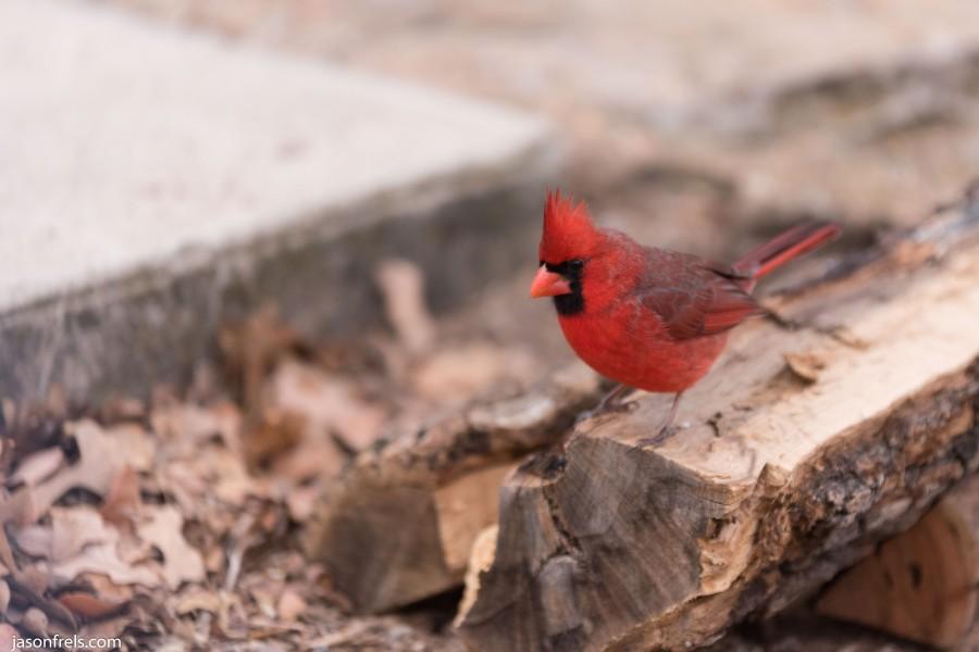 Lake Brownwood Texas cardinal