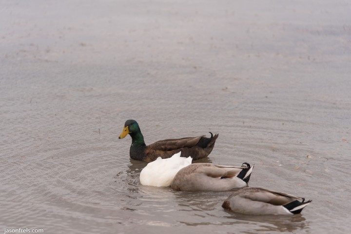 Devine Lake park in Leander ducks