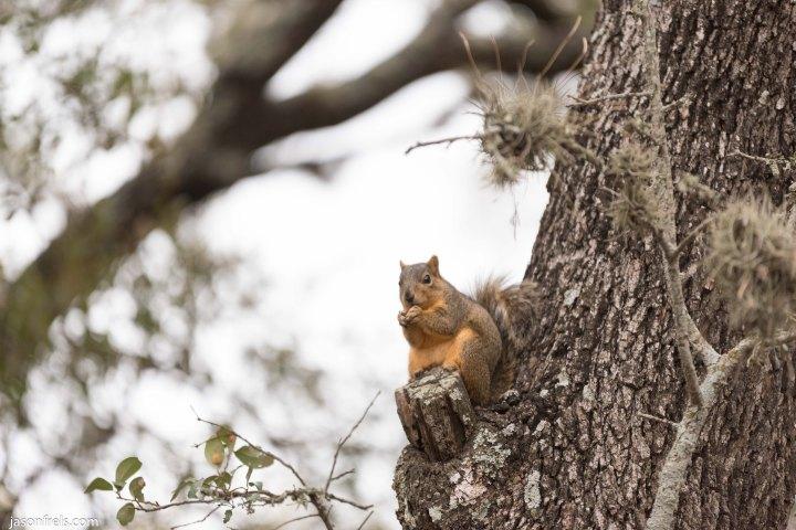 Devine Lake park in Leander squirrel