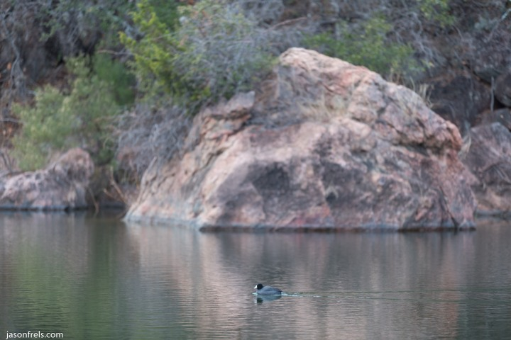 Inks Lake duck