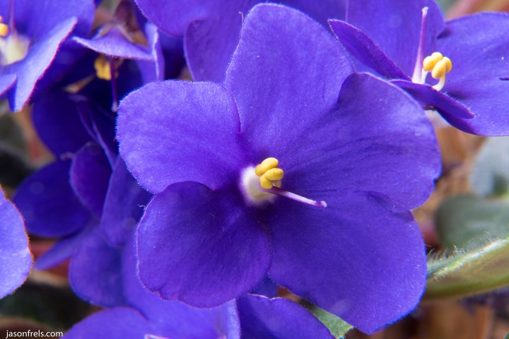 Close up of African violet using extension tubes and Nikon D750 DSLR