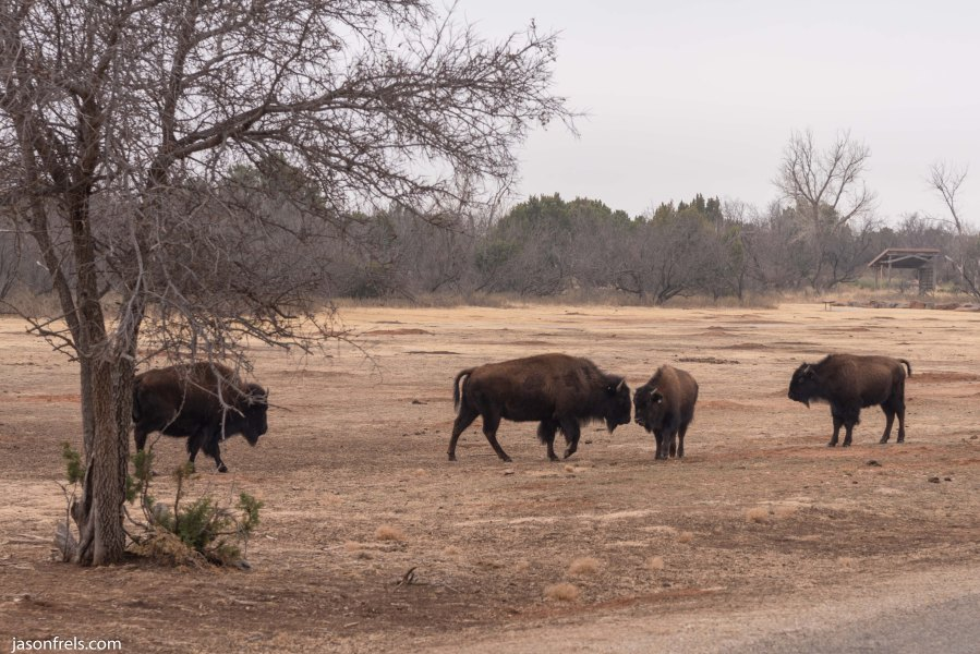 Caprock Canyons State Park Texas bison