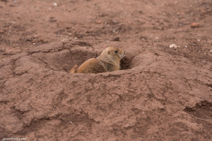 Caprock Canyons State Park Texas prairie dog