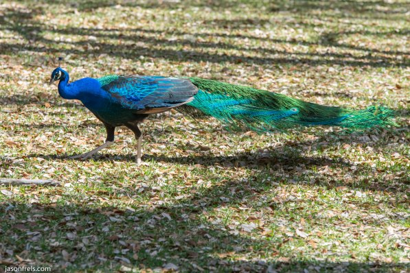 Peacock at Mayfield Park in Austin Texas