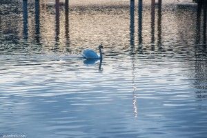 Swan at Lady Bird Lake in Austin Texas
