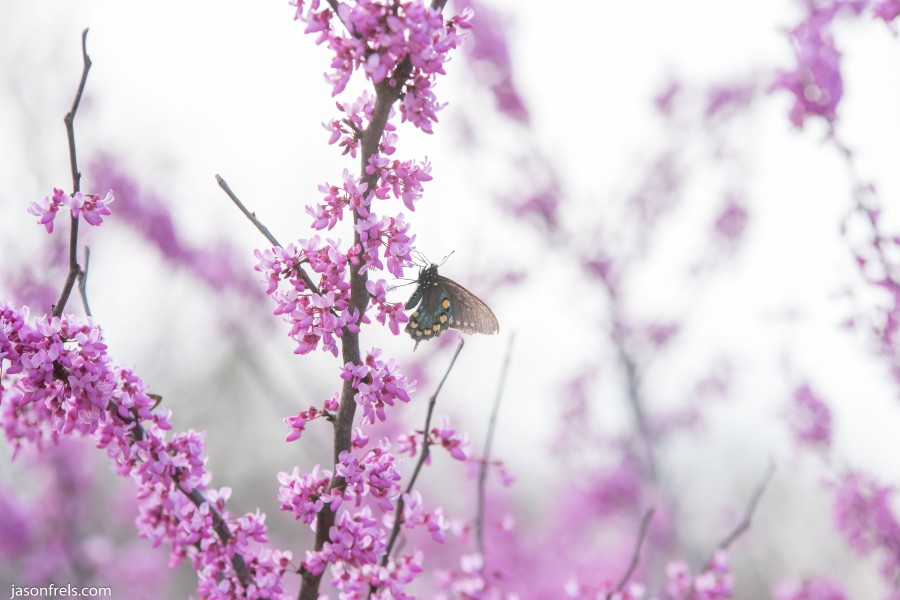 Butterfly on a pink flowering tree at Wildseed Farm Fredericksburg Texas