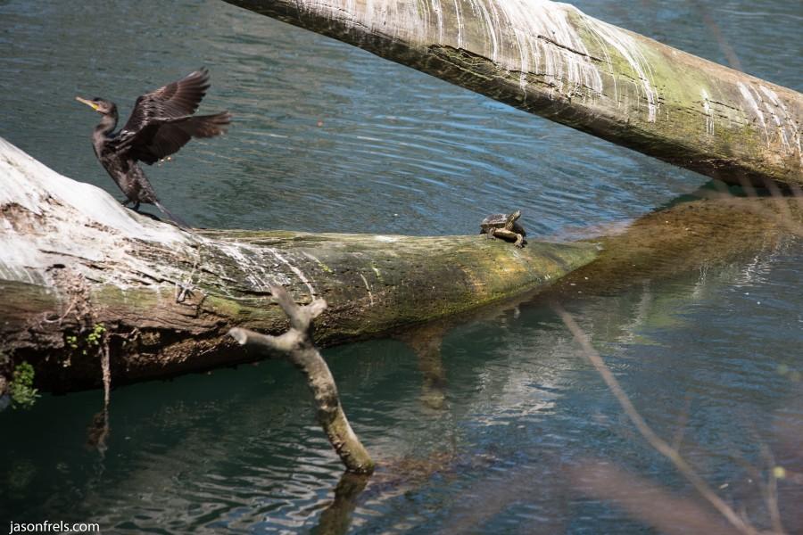 Cormorant turtle Guadalupe River Gruene Texas