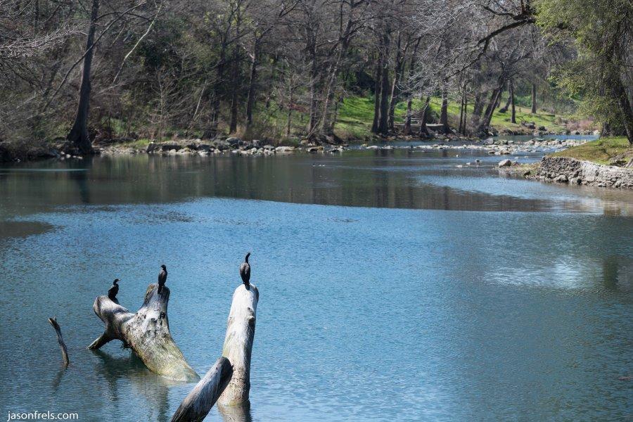 Cormorant Guadalupe River Gruene Texas