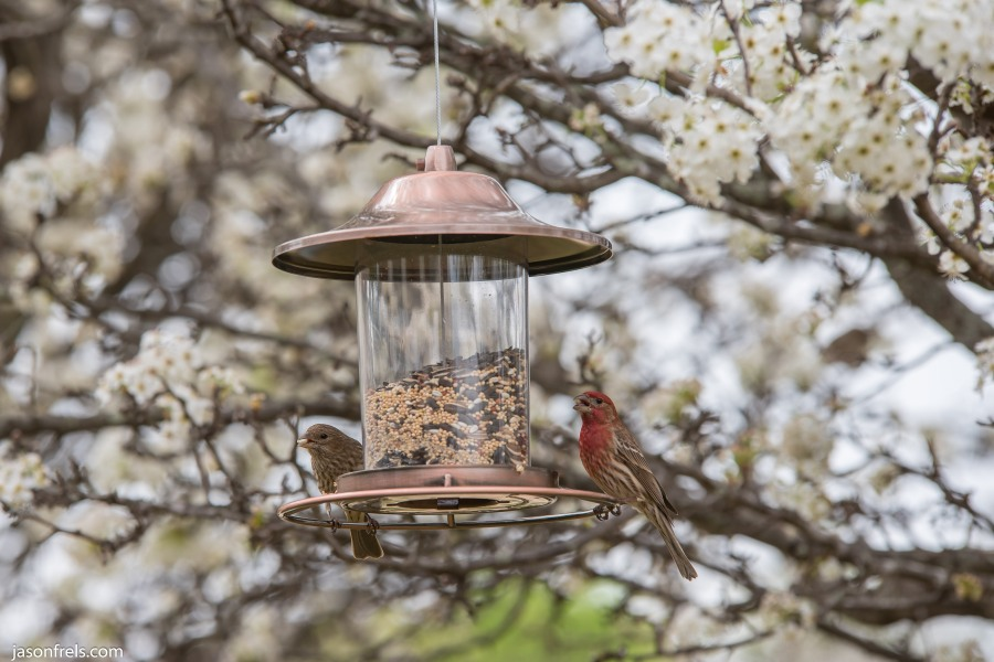 Male House Finch on a Bird Feeder in Leander Texas
