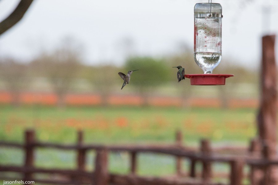 Hummingbird-Freeze-Motion-2