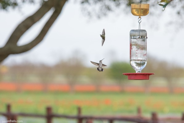 Hummingbird freeze motion near Fredericksburg Texas Wildseed Farms