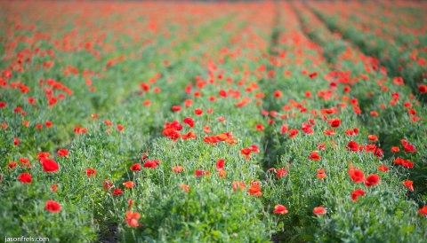Red Corn Poppies Wildseed Farm Fredericksburg Texas