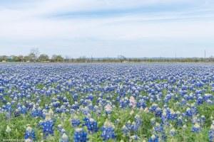 Texas bluebonnets wildseed farm Fredericksburg