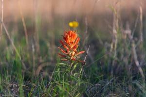 Balcones Canyonlands National Wildlife Refuge Indian paintbrush wildflower