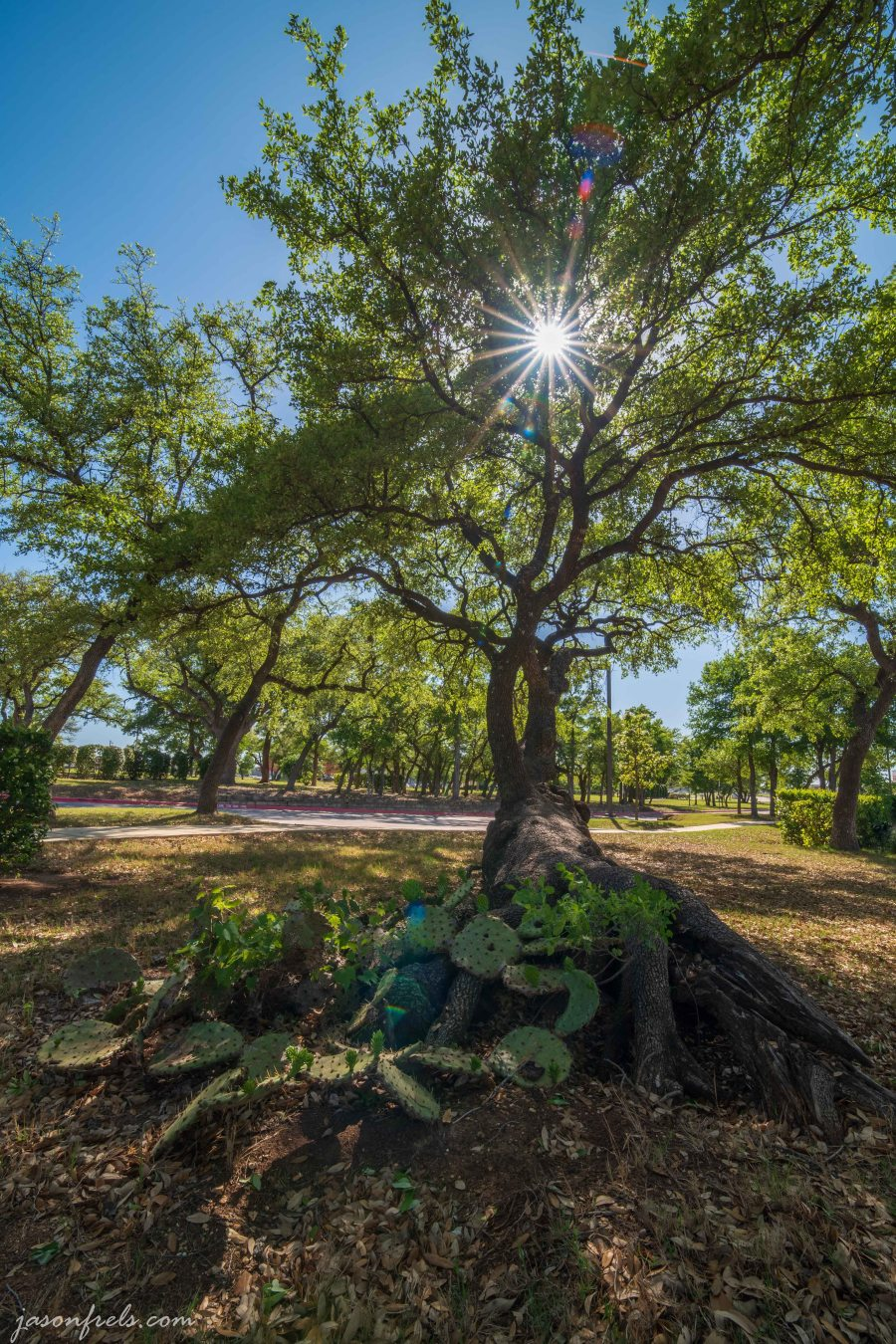 Oak Tree Cedar Park Texas