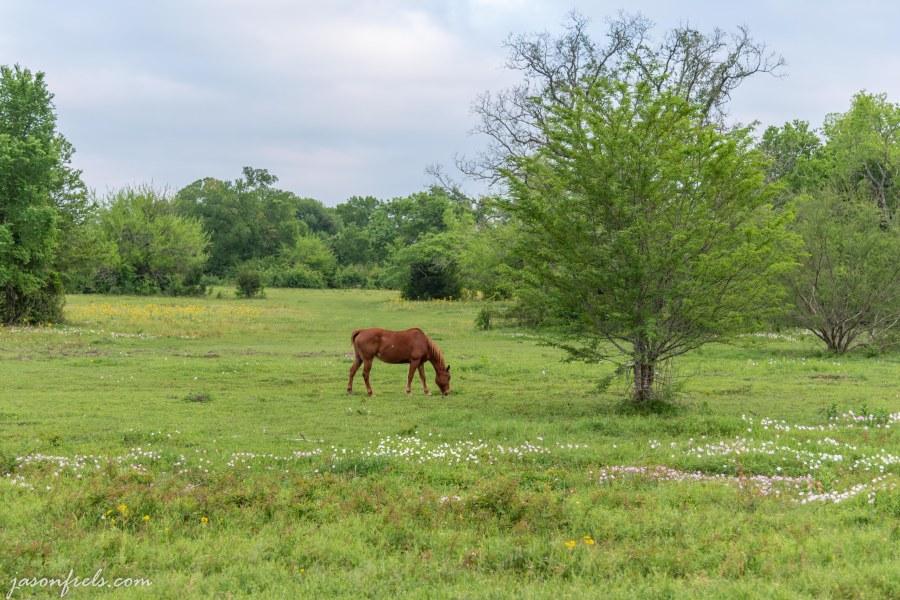 Horse in field of wildflowers in Texas