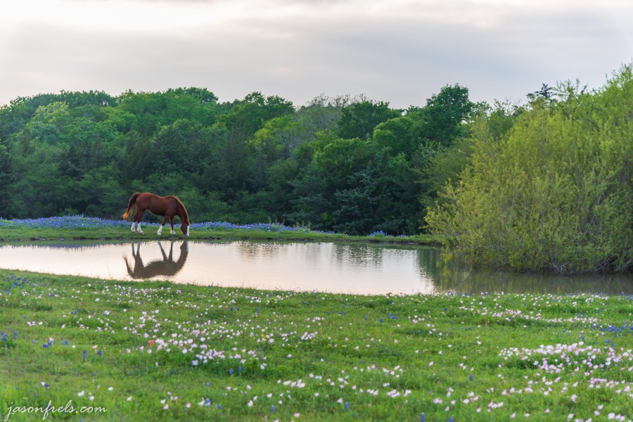 Horse in field of wildflowers near a pond in Texas