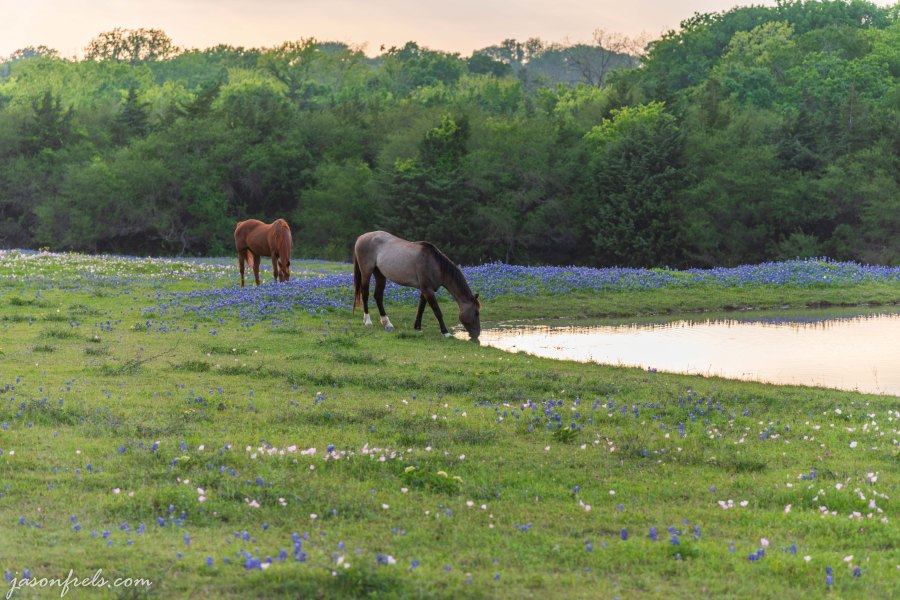 Horses in field of wildflowers near a pond in Texas