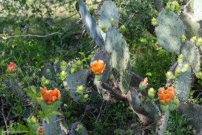 Prickly pear cactus blooms in Austin Texas
