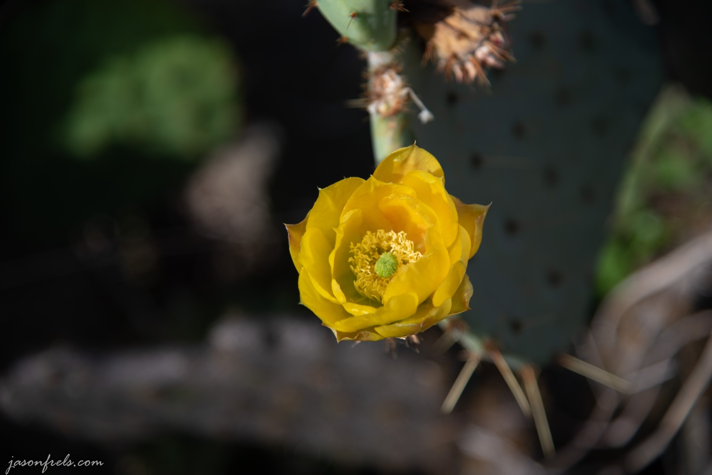 Prickly pear cactus blooms in Austin Texas