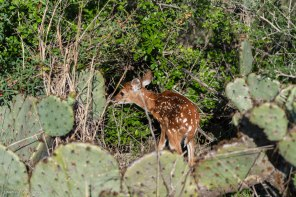 Prickly pear cactus and deer fawn in Austin Texas