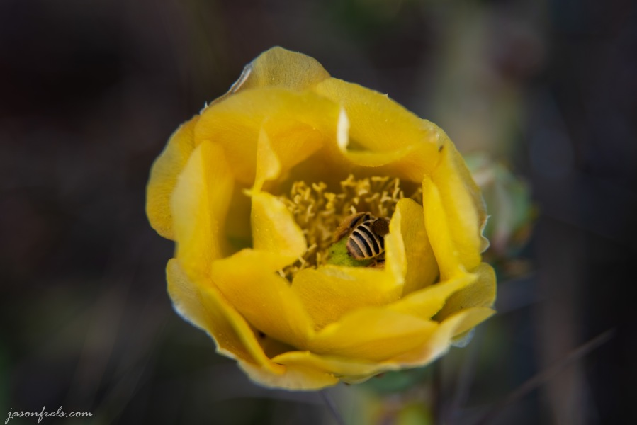 Yellow Prickly pear cactus bloom close up with a bee in Austin Texas