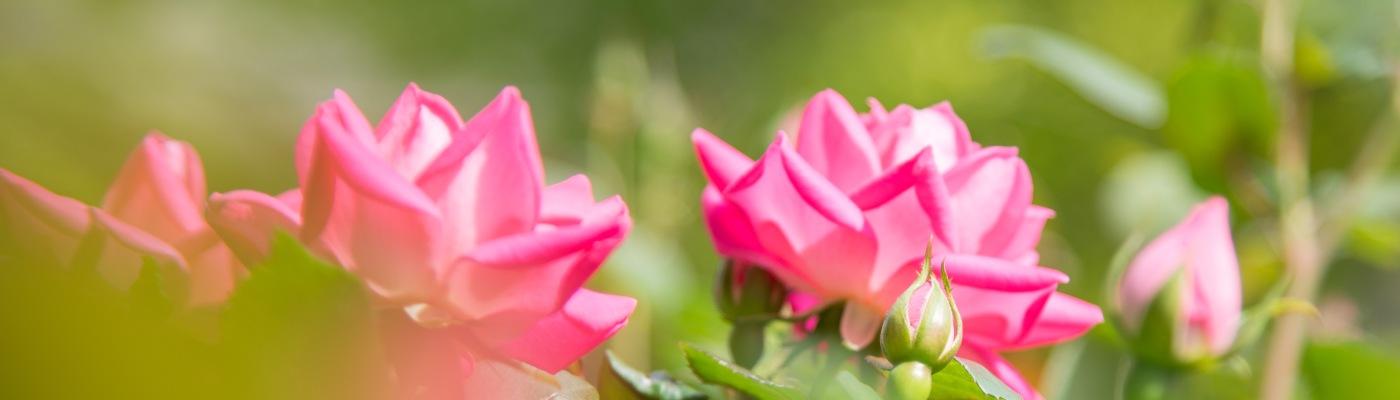 spring rosebuds bokeh