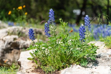 Texas-Bluebonnets-1