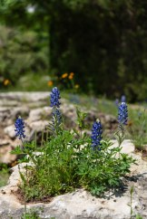 Texas-Bluebonnets-2