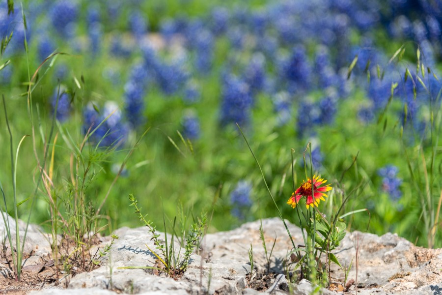 Texas-Bluebonnets-3