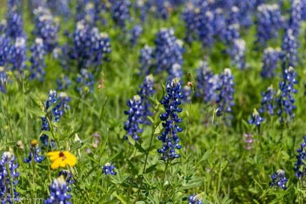 Texas-Bluebonnets-4