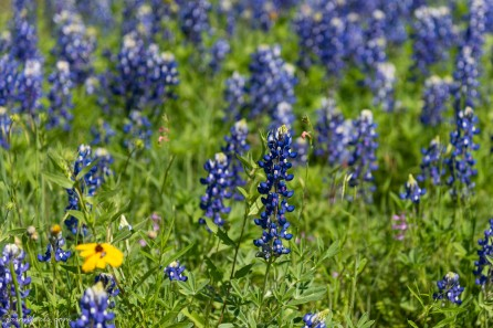 Texas-Bluebonnets-4