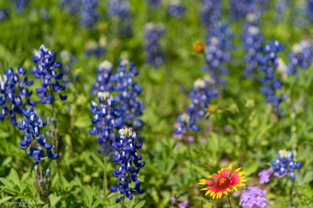 Texas-Bluebonnets-5