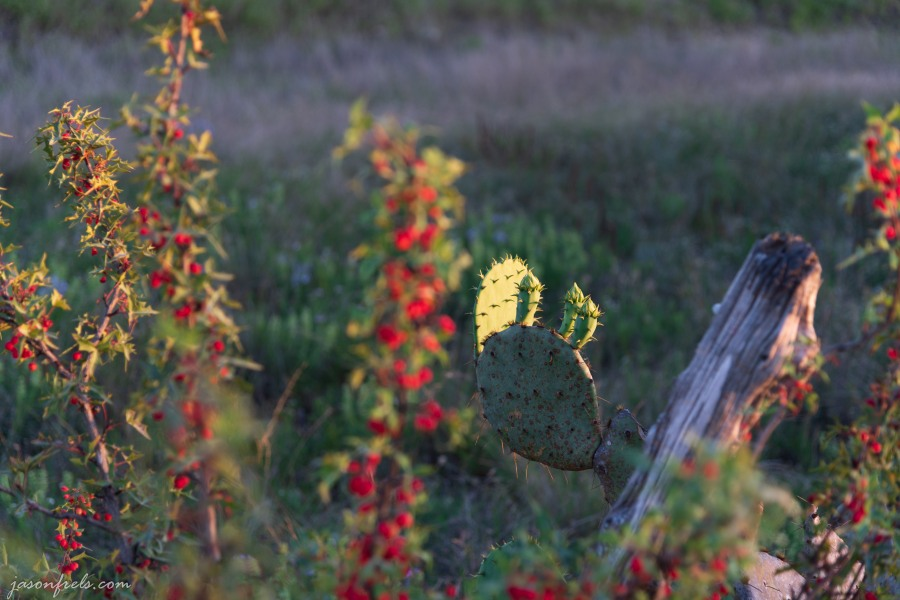 Prickly pear cactus in evening sunlight in Central Texas