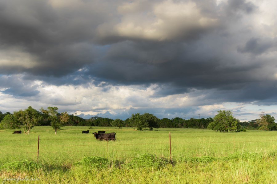 Cows in a Pasture with Storm Clouds