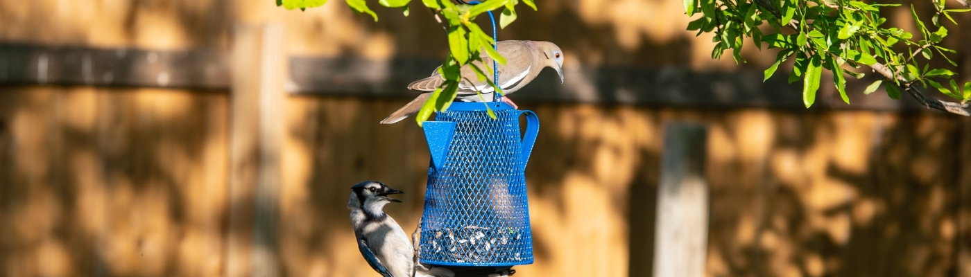 Blue jay and white wing dove at bird feeder
