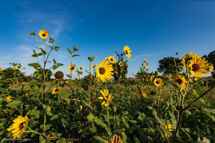 Sunflowers in afternoon sun near road in Leander Texas